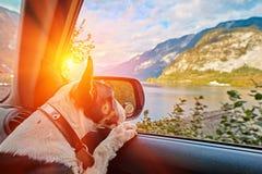 Cucciolo di cane di viaggio curioso nell'automobile che esamina il tramonto delle montagne delle alpi sopra il lago austriaco del fotografie stock libere da diritti