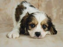 Cucciolo di Cavachon Immagini Stock Libere da Diritti