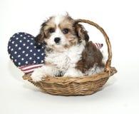 Cucciolo di Cavachon Fotografie Stock