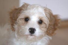 Cucciolo di Cavapoo Fotografia Stock Libera da Diritti
