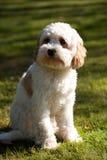 Cucciolo di Cavapoo Immagine Stock Libera da Diritti
