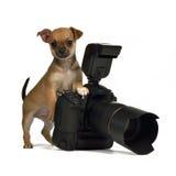 Cucciolo di Chiuahua con la macchina fotografica della foto immagini stock libere da diritti