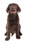 Cucciolo di Chocolat labrador retriever Fotografia Stock