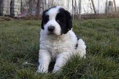 Cucciolo di Ciobanesc Romanesc de Bucovina Immagine Stock