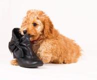 Cucciolo di Cockapoo con la scarpa nera Fotografie Stock Libere da Diritti