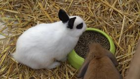 Cucciolo di coniglio che mangia nell'azienda agricola archivi video