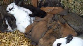 Cucciolo di coniglio che mangia nell'azienda agricola stock footage