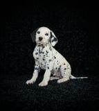 Cucciolo di Dalmation Fotografia Stock Libera da Diritti