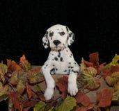 Cucciolo di Dalmation Fotografie Stock