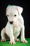 Cucciolo di Dogo Argentino Immagine Stock Libera da Diritti