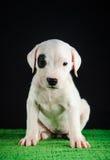 Cucciolo di Dogo Argentino Immagine Stock