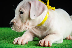 Cucciolo di Dogo Argentino Fotografie Stock Libere da Diritti