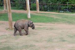 Cucciolo di Elephant's nello zoo di Oklahoma City fotografia stock libera da diritti