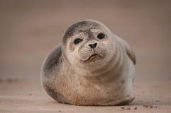 Cucciolo di foca Fotografie Stock