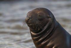 Cucciolo di foca Fotografia Stock Libera da Diritti