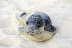 Cucciolo di foca che ha resto sulla spiaggia di Hermosa Immagini Stock Libere da Diritti