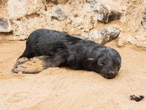 Cucciolo di foca che prende il sole al sole con gli occhi chiusi sulla costa di scheletro Namibia, Africa immagini stock