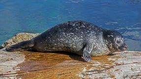 Cucciolo di foca comune Immagine Stock