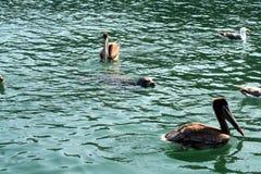 Cucciolo di foca con i pellicani Fotografia Stock