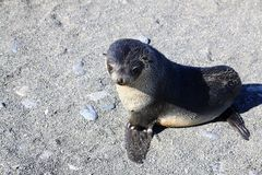 Cucciolo di foca della pelliccia Immagine Stock