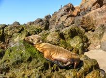 Cucciolo di foca di Malnoruished che dorme su una roccia Immagine Stock