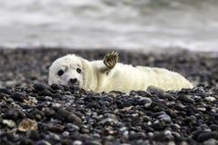 Cucciolo di foca grigio fotografie stock libere da diritti