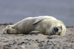 Cucciolo di foca grigio Fotografia Stock