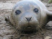 Cucciolo di foca grigio curioso Immagini Stock Libere da Diritti