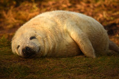 Cucciolo di foca grigio di sonno con il sorriso sul fronte Fotografie Stock