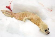 Cucciolo di foca neonato dell'arpa Fotografie Stock