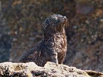 Cucciolo di foca selvaggio che gode del Sun alla spiaggia di Wharariki, nuovo Zealan fotografia stock