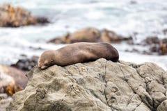 Cucciolo di foca sulle rocce di Kaikoura in Nuova Zelanda fotografie stock