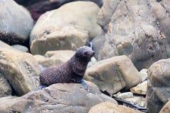 Cucciolo di foca sulle rocce di Kaikoura in Nuova Zelanda fotografia stock