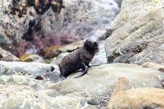 Cucciolo di foca sulle rocce di Kaikoura in Nuova Zelanda fotografia stock libera da diritti