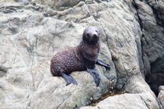 Cucciolo di foca sulle rocce di Kaikoura in Nuova Zelanda immagine stock
