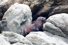 Cucciolo di foca sulle rocce di Kaikoura in Nuova Zelanda immagini stock