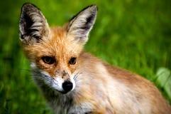 Cucciolo di Fox Immagine Stock