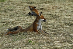 Cucciolo di Fox in Hay Field Fotografie Stock Libere da Diritti