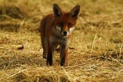 Cucciolo di Fox in Hay Field Immagini Stock Libere da Diritti