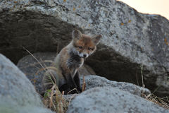 Cucciolo di Fox rosso Fotografia Stock Libera da Diritti