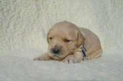 Cucciolo di golden retriever che si trova su una coperta Fotografie Stock