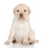 Cucciolo di golden retriever, ritratto Fotografie Stock Libere da Diritti