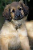 Cucciolo di Hovawart Fotografia Stock