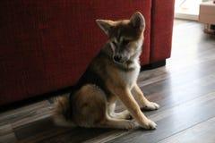 Cucciolo di inu del Akita Immagini Stock