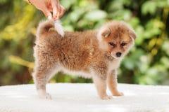 Cucciolo di inu del Akita Immagine Stock