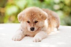 Cucciolo di inu del Akita Fotografia Stock Libera da Diritti