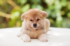 Cucciolo di inu del Akita Immagini Stock Libere da Diritti