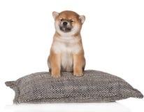 Cucciolo di inu di Shiba che si siede su un cuscino Immagine Stock