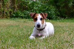 Cucciolo di Jack Russel in giardino Fotografia Stock Libera da Diritti