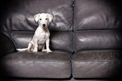 Cucciolo di Jack russell che si siede in un sofà Fotografie Stock